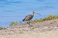 Long-Billed Curlew, Guerrero Negro, Baja Sur, Mexico