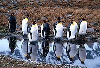King Penguins<br />Animals - Antartica<br />St. Andrews Bay / South Georgia<br />© Explorer-Images / Jay Watson