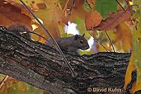 1221-0901  Gray Squirrel Climbing in Tree During Fall, Sciurus carolinensis  © David Kuhn/Dwight Kuhn Photography