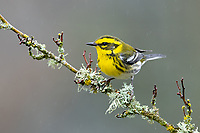 Female Townsend's Warbler (Setophaga townsendi). Washington County, Oregon. November.
