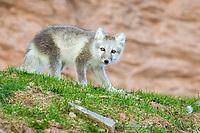 Arctic fox, white fox, polar fox, snow fox, Vulpes lagopus, adult, in summer color morph, Spitsbergen, Svalbard, Norway