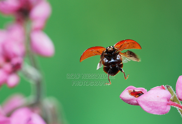 Spotless Lady Beetle (Cycloneda munda), adult in flight, Dinero, Lake Corpus Christi, South Texas, USA