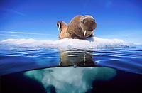 Atlantic walruses, Odobenus rosmarus rosmarus, juveniles on small iceberg, Igloolik, Nunavut, Canada, Arctic Ocean