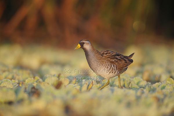 Sora (Porzana carolina), immature walking on water lettuce, Refugio, Coastal Bend, Texas Coast, USA