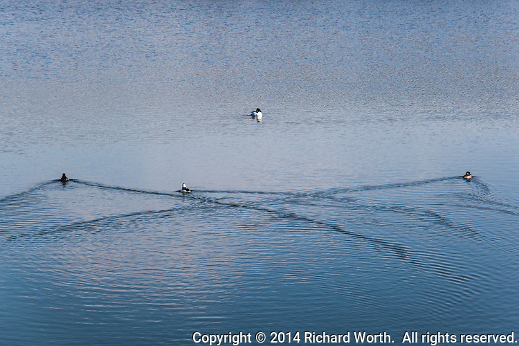 The wakes of three ducks swimming in San Leandro Bay crisscross, drawing patterns on the rippled water.