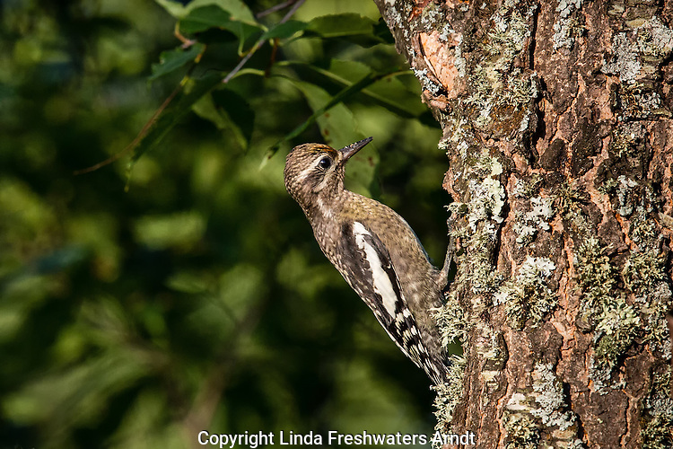 Yellow-bellied sapsuck - immature
