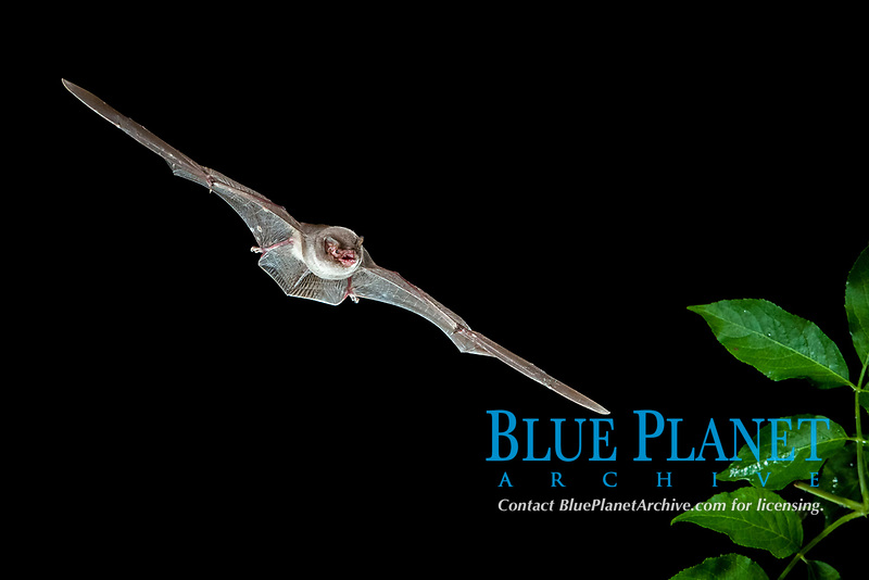 Bent-wing Bat, Schreibers' Long-fingered Bat or Schreibers' Bat (Miniopterus schreibersii) in flight, North Bulgaria, Bulgaria, Europe