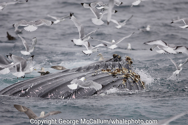 Megaptera novaeangliae Humpback whales bubble net feeding on Capelin and krill Spitzbergen Arctic Norway Kittywakes and Fulmars feeding alongside