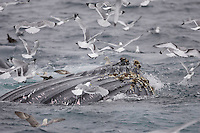 Megaptera novaeangliae Humpback whales bubble net feeding on Capelin and krill Spitzbergen Arctic Norway Kittywakes and Fulmars feeding alongside