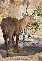0524-1101  Male Calamian Deer (Hog Deer), Hyelaphus calamianensis  © David Kuhn/Dwight Kuhn Photography