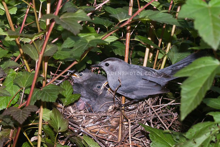 Catbird bird nest in Physocarpus, babies, three baby birds and adult parent, Gray catbird Dumetella carolinensis