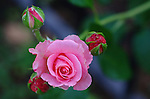 It's a pink rose blooming in the front yard.