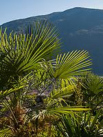 Palmen am Algunder Waalweg, Algund bei Meran, Region Südtirol-Bozen, Italien, Europa<br /> palm trees at hiking trail Algunder Waalweg,  Lagundo village near Merano, Region South Tyrol-Bolzano, Italy, Europe