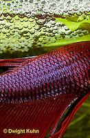 BY12-002z  Siamese Fighting Fish - male scales - Betta splendens