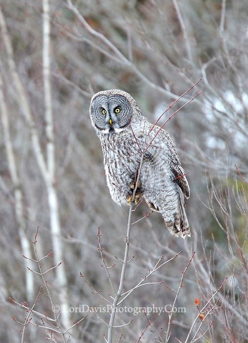 Great grey owl on twig