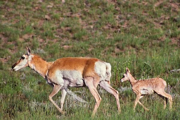 Young pronghorn antelope (Antiloapra americana) fawn following mother, Western U.S. June