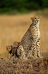 A cheetah watches the plains for prey to feed her young in the Aitong Hills in Southwest Kenya.