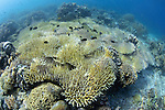 Coral bleaching of a shallow hard coral reef with large patches of dying coral, Komodo National Park, Nusa Tenggara, Indonesia, Pacific Ocean