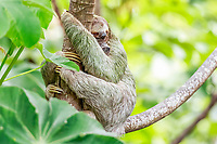 brown-throated three-toed sloth, Bradypus variegatus, mother and baby, Manuel Antonio National Park, Costa Rica