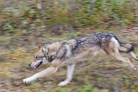 Gray wolf lopes along the tundra in Denali National Park, Interior, Alaska.