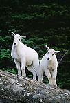 Mountain goat kids, Glacier National Park, Montana, USA