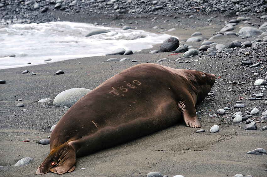 Branded Elephant seal - Macquarie Island