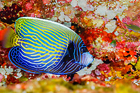 emperor angelfish, Pomacanthus imperator, juvenile, Similan Islands, Thailand, Andaman Sea, Indian Ocean