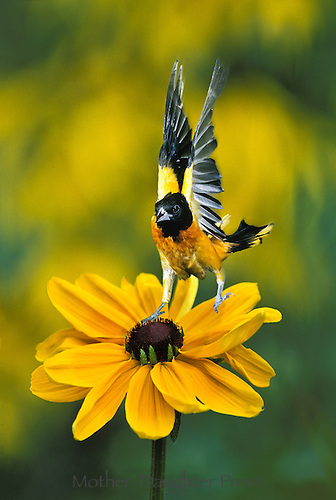 Baltimore oriole, Icterus galbula, alights on large black-eyed Susan (rudibeckia) with incredible balance. Missouri USA