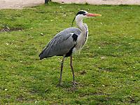 Fischreiher (Ardea cinerea)  im Vondelpark, Amsterdam, Provinz Nordholland, Niederlande<br /> Gray Heron (Ardea cinerea)  in Vondelpark, Amsterdam, Province North Holland, Netherlands