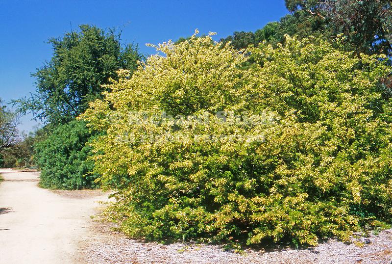12472-CF Honey Mesquite or Texas Mesquite, Prosopis glandulosa, mature specimen, in arboretum at California State University, Fullerton, USA