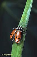 1C01-024z  Convergent Ladybug preparing to fly, Hippodamia convergens