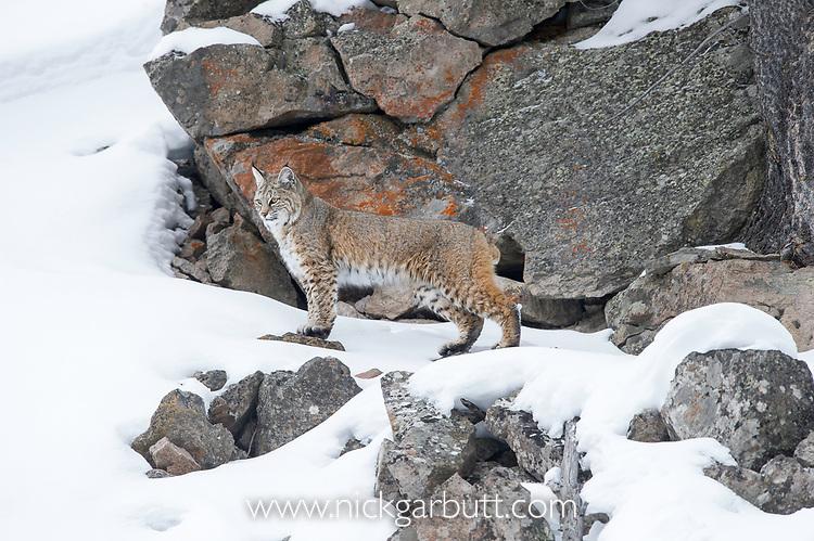 North American Bobcat (Lynx rufus) stalking through deep snow. Madison River Valley, Yellowstone National Park, Wyoming, USA. January