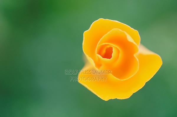 Mexican Gold Poppy (Eschscholzia californica mexicana), flower closed, Tonto National Forest, Bartlett Lake , Arizona, USA