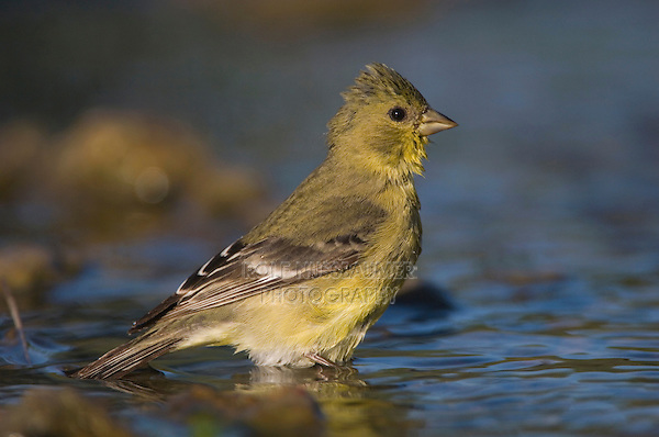 Lesser Goldfinch, Carduelis psaltria, female bathing, Willacy County, Rio Grande Valley, Texas, USA