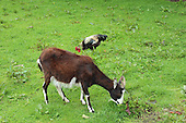 Goat and rooster Graze