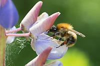 Ackerhummel, Acker-Hummel, Hummel, Weibchen, Blütenbesuch an Lupine, Pollenhöschen, Bombus pascuorum, Bombus agrorum, Megabombus pascuorum floralis, common carder bee, carder bee, female, le bourdon des champs