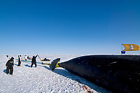 Inupiaq subsistence whaling crew pulls up a 48 foot 8 inch bowhead whale, Balaena mysticetus, catch, Chukchi Sea, Arctic Alaska