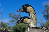 Nene, Hawaiian Goose, Branta Sandvicensis, adults, Kauai, Hawaii, USA