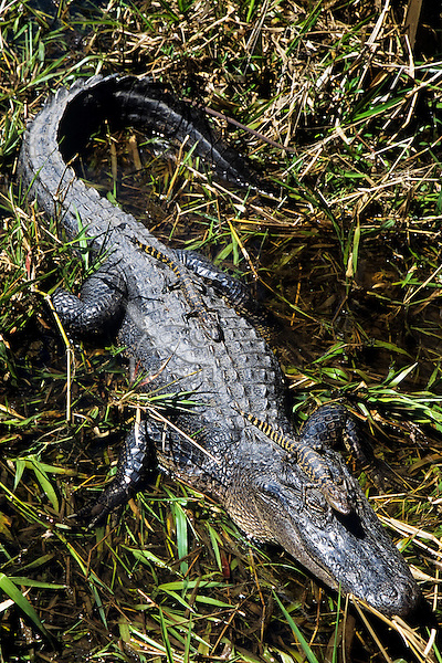 American Alligator protecting its young (Alligator mississipienis).  Spring.  Southeastern U.S.