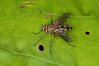 Raupenfliege, Engerlingraupenfliege, Engerling-Raupenfliege, Dexiosoma caninum, Dexiosoma canina, Tachinid-fly, Raupenfliegen, Tachinidae