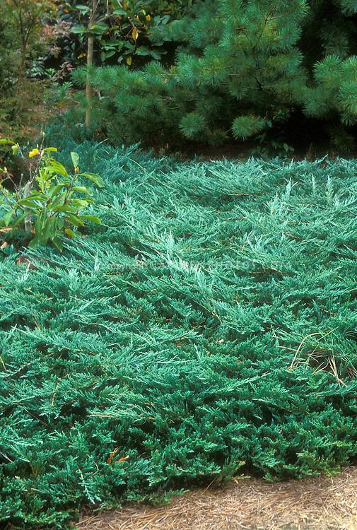 Juniperus horizontalis wiltonii 'Blue Rug' juniper groundcover ground cover evergreen conifer plant