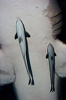 Live Sharksucker (Echeneis naucrates) (c) A species of Remora. Clinging to the underside of a Sand Tiger Shark (Carcharias taurus)