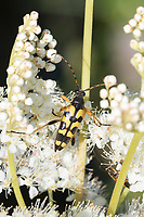 Gefleckter Schmalbock, Schmalbock, Strangalia maculata, Stenurella maculata, Leptura maculata, Rutpela maculata, Spotted Longhorn, Yellow-black Longhorn Beetle, Le lepture tacheté, la lepture tachetée