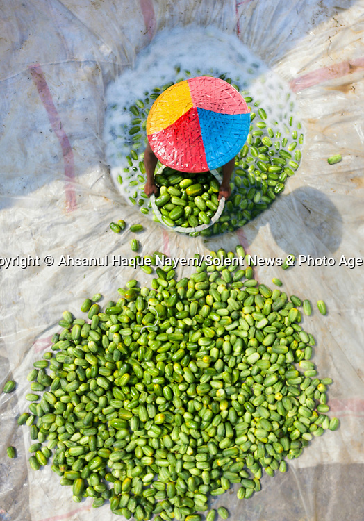 Cucumber farmer work hard to clean their crop of cucumbers. 