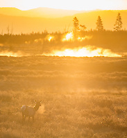 Elk soak in the sunrise on Swan Lake Flat.