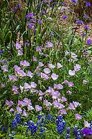Oenothera speciosa, Mexican evening primrose in Texas wildflower demonstration garden; Lady Bird Johnson Wildflower Center