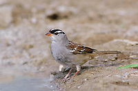 Adult White-crowned Sparrow (Zonotrichia leucophrys) in breeding plumage. Starr County, Texas. March.