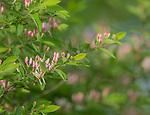 Flowering Morrow's honeysuckle in northern Wisconsin.