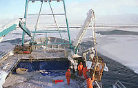 Deckhands raise a crab pot out of the frigid waters on board the F/V Kiska Sea during the oplio (snow) crab season within the arctic ice floes of the Bering Sea in the winter of 1995. A hydrolic crane is used to raise the pot.  The fishing boat had sought cover from the icy waves during a storm.  The Bering Sea is known for having some of the most violent weather in the world.  Crab fishing in the 1990's was one of the most dangerous jobs in America. The risks were high for fatalities and injuries but the money was good and lured young men to participate in the fishery. (photo copyright karen Ducey)