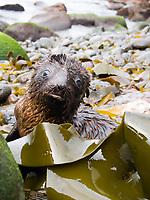 Cute Australian fur seal Arctocephalus pusillus doriferus) pup amongst kelp, Lady Julia Percy Island, Bass Strait, Australia